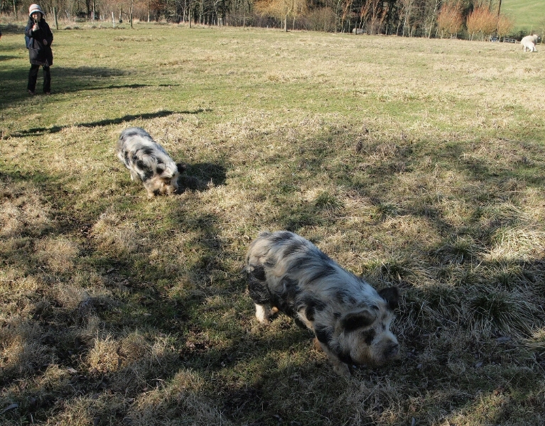 Kune Kune pigs graze out of doors through the winter